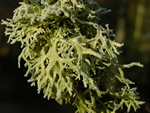 Almindelig Slenlav (Evernia prunastri)